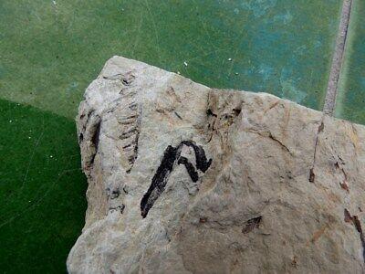 """Fosiles Helechos """" Fantastico Helecho Pecopteris+Calamites De Leon  -  5G18 """" 8"""