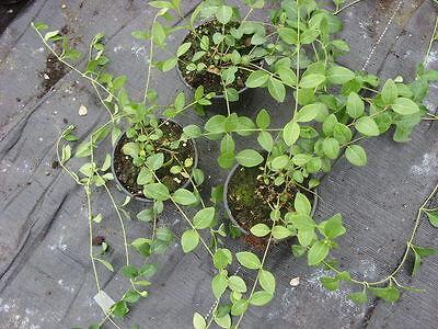 30 Pflanzen Hedera Helix Hibernica Immergrun Winterhart Eur 24 50