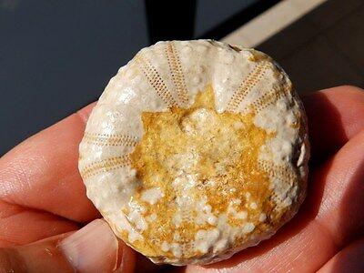 """Fosiles Erizos """" Extraordinario Erizo Phymosomas  De Marruecos  -  6A16 """" 2"""
