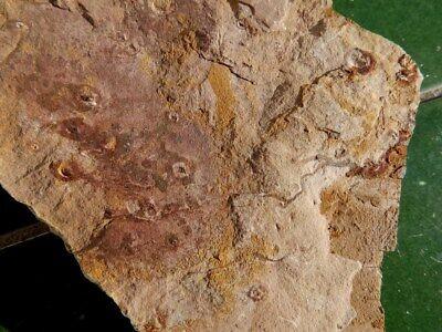 """Fosiles Trilobites """" Bonitos Y Rarisimos Estromatolitos   -  12C18 """" 3"""