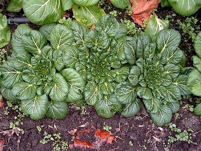 1000 TATSOI Brassica Rapa Rosularis Tat Soi Bok Spinach Mustard Vegetable Seeds 3