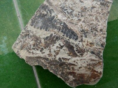 """Fosiles Helechos """" Fantastico Helecho Pecopteris+Calamites De Leon  -  5G18 """" 3"""