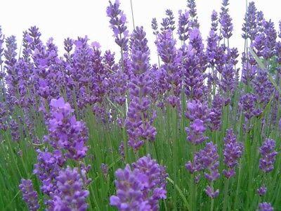500 SEMI /seeds DI LAVANDA vera PROVENZALE (lavandula officinalis) PROFUNAZIONE 2