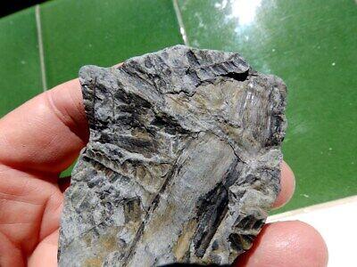 """Fosiles Helechos """" Fantastico Helecho Pecopteris+Calamites De Leon  -  3M19 """" 5"""