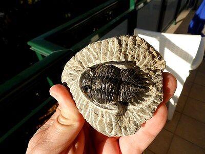 """Fosiles Trilobites """" Excelente Trilobite Methacantina Alnif(Marruecos) - 10C16 """" 5"""