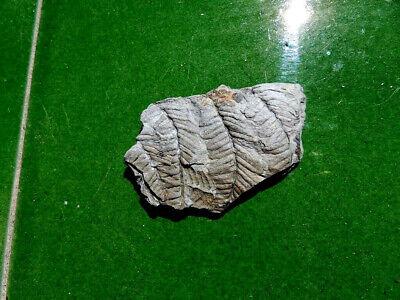 "Fosiles Helechos "" Fantastico Helecho Pecopteris  -  3Ñ19 "" 3"