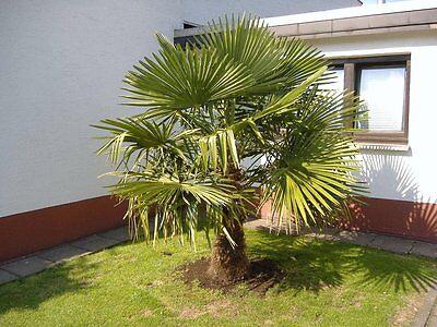 Windmill Palm, Chusan Palm, Chinese Palm, Trachycarpus fortunei Seeds. 3