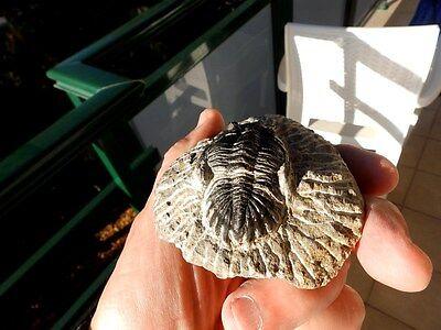 """Fosiles Trilobites """" Excelente Trilobite Methacantina Alnif(Marruecos) - 10C16 """" 3"""