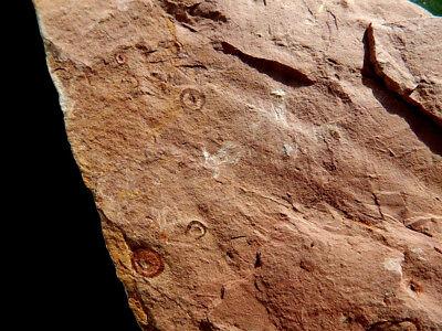 """Fosiles Trilobites """" Fabulosos Y Rarisimos Estromatolitos  -  12A18 """" 6"""