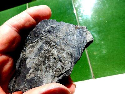 """Fosiles Helechos """" Fantastico Helecho Neuropteris+Calamites De Leon  -  3H19 """" 5"""