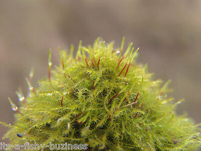 Brazil Moss Amblystegium sp on 9x9cm Pad  Rare Live Aquarium Plant anubias