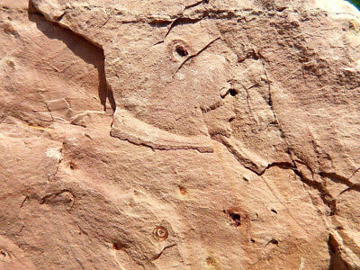 """Fosiles Trilobites """" Fabulosos Y Rarisimos Estromatolitos  -  12A18 """" 8"""