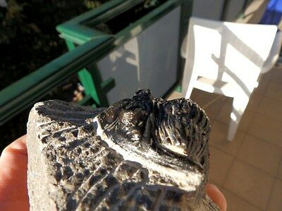 """Fosiles Trilobites """" Excelente Trilobite Methacantina Alnif(Marruecos) - 10B16 """" 4"""