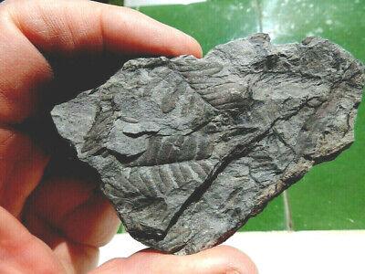 """Fosiles Helechos """" Fantastico Helecho Pecopteris+Anularia De Leon  -  3J19 """" 3"""