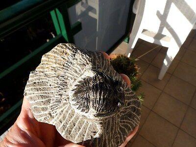 """Fosiles Trilobites """" Excelente Trilobite Methacantina Alnif(Marruecos) - 10B16 """" 8"""