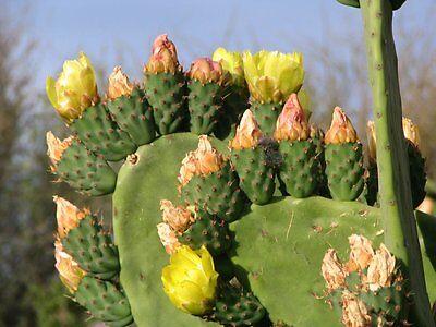 Opuntia Ficus edible cactus 30 INDIAN FIG CACTUS SEEDS Indica