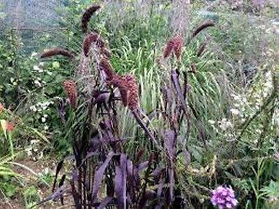 Bromus rubens - 25 seeds Brome- Red- BOGO 50/% off SALE