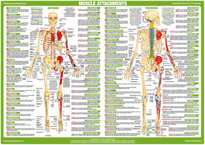 Muscle Anatomy Body Building Poster Human Skeleton Medical Chart 2