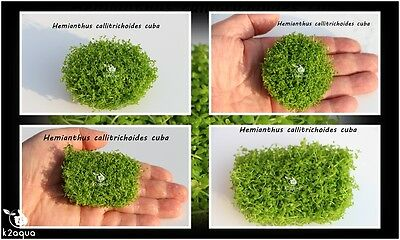 4 x Hemianthus Callitrichoides Cuba HC In Vitro Live Carpet Aquarium Plants Co2