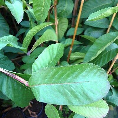 Guave Guayava Goiaba guajave echte Guave  ca 160-180 cm