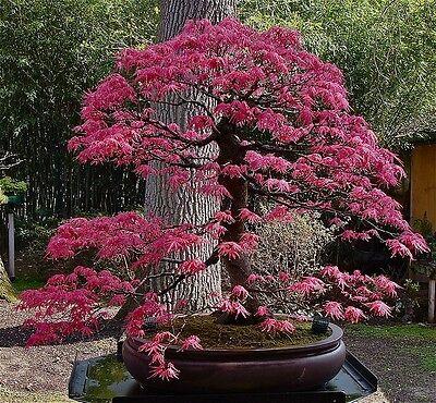 Bonsia Acer Palmatum Dissectum Japanese Maple 10 Seeds Eur 162