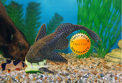 SCREWCUMBER TWIN PACK, FEEDER/WEIGHT FOR PLECS, LOACHES, MALAWI CICHLIDS,  etc