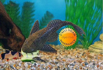Opti-Fish Screwcumber - Malawi Cichlid Feeder - Two Year Warranty Free Uk Del! 5
