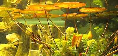 Tropische violette Seerose - Nymphea für das Aquarium ♪ Wasserpflanze ♪ Samen .. 2