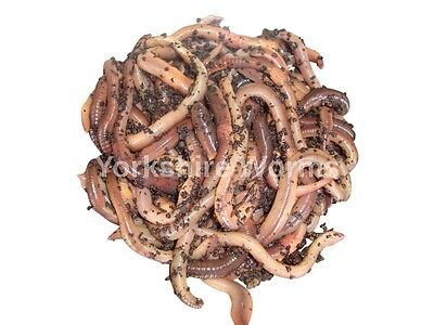 REPTILES GARDEN SOIL 50 LOB WORMS QUALITY LARGE Earthworms for FISHING