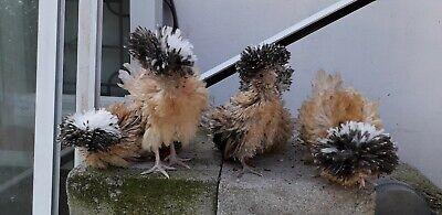 6 Mixed colours polish/poland bantam Fertile hatching eggs 4