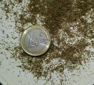 Artemisia Annua, sweet wormwood, Qing hao, más de 5.000 semillas ecologicas 2