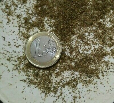 Artemisia Annua, yuyo, altamisa burlasco bamay más de 5.000 semillas ecologicas 2