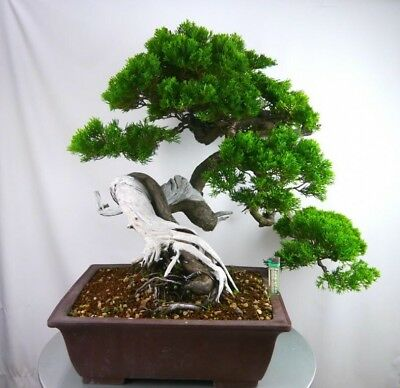 Rare Juniper Bonsai Tree Seeds Japanese Juniper Bonsai Uk Stock 0 99 Picclick Uk