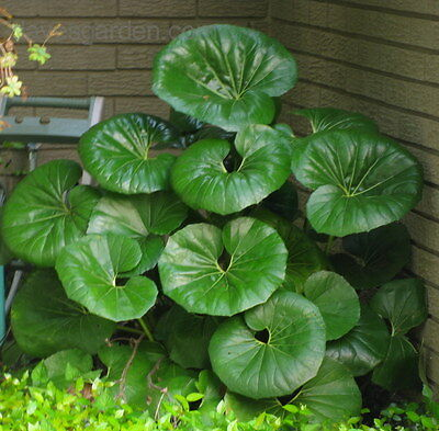 25+ FRESH Farfugium Japonicum var. Giganteum Plant Seeds VERY LARGE LEAVES 10