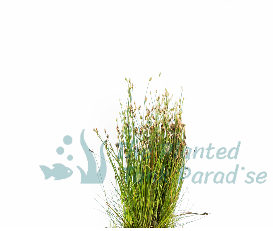 Dwarf Hairgrass Bunch Eleocharis Parvula Aquatic Aquarium Plants BUY2GET1FREE* 2