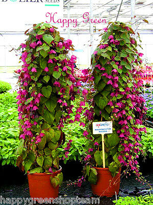 PURPLE BELL VINE Rhodochiton Atrosanguineus  12 SEEDS - Great for hanging basket 10
