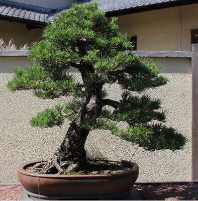 RARE Japanese Black Pine Bonsai Tree Seeds, Bonsai Pine Tree Seeds, UK Stock 5