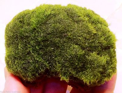 Marimo Moss Growing on Lava Rock Live Aquarium Plants Java Shrimp