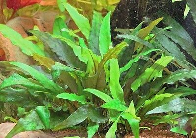 Cryptocoryne assorties lot de 4 touffes  plante aquarium facile robuste discus 8