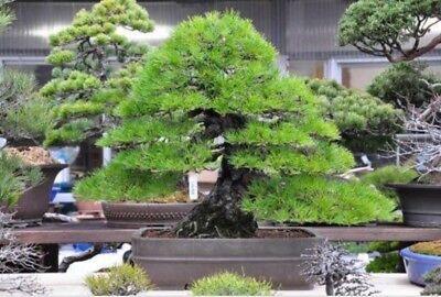 RARE Japanese Black Pine Bonsai Tree Seeds, Bonsai Pine Tree Seeds, UK Stock 7