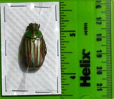 Mexican Jewel Plusiotis adelaida Red form (Chrysina) FAST SHIP FROM USA