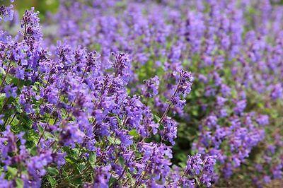 CATMINT CATNIP - 600 SEEDS - Nepeta mussinii faassenii - PERENNIAL FLOWER 7