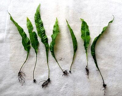 35 x Java Fern (Microsorum pteropus) - Hardy Aquatic Plant