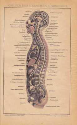 DER KÖRPER DES MENSCHEN Orignal Lithographie von 1894 Innere Organe Anatomie 2