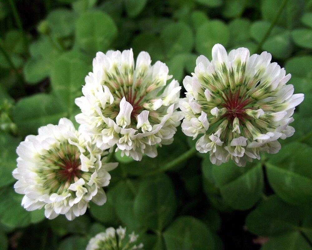 Wildblume Wilder Rot-Klee 3000 Samen