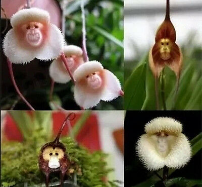 10pcs Monkey Face Orchid Flower Seeds Plant Seed Bonsai Home Garden