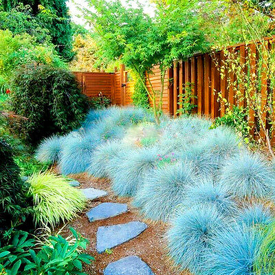 BLUE FESCUE - Festuca Glauca - 600 seeds  -  ORNAMENTAL GRASS 4
