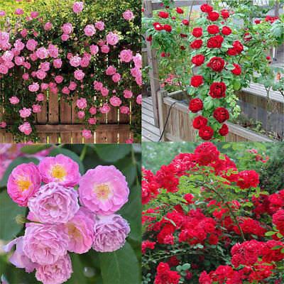 100pcs Pink red Climbing Rose Seeds Perennial Flower Garden Decor Plant Seed !! 4