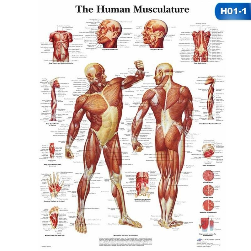 Human Body Muscle Anatomy System Poster Anatomical Chart Educational Poster #LF 8