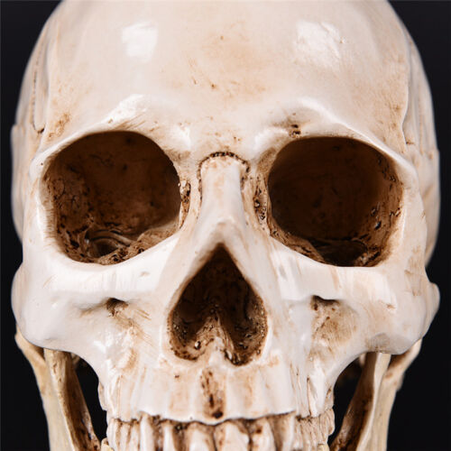 Human Skull white Replica Resin Model Medical Lifesize Realistic NEW 1:1 A DFI 6